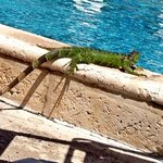 Iguana sunning near the pool.