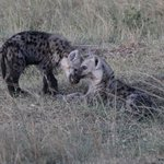 Hyena research pups