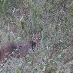 The caracal I spotted