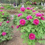 peorry flower