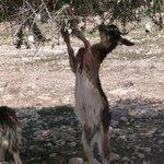 Argan oil goat