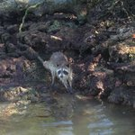 island raccoons oyster shelling