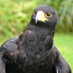 The gorgeous black eagle