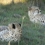 Big Cats - Cheetahs