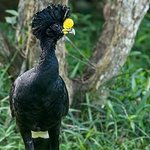 Great Curassow on grounds of lodge