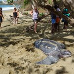Huge leatherback laying on Black rock beach