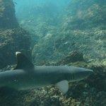 Petit requin pointe blanche Cano Island