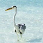One of Velassuru's local residents, this heron is on a fishing expedition.
