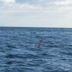 Jumping Spinner dolphin