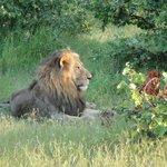 Super Safaris mit großem Löwenvorkommen