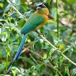 Blue-crowned Motmot visiting the garden