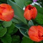 Тюльпаны (из оранжереи)