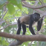 Howler Monkey at Resort by Pool