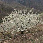 Cerezos en flor (Jerte)