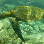 Turtle at Honaunau