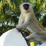 Les singes aux coucougnettes bleues
