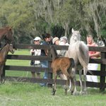 Feeding the mares with their foals