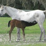 Nursing foal and mare