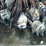 Raccoons in the Everglades Red Mangroves