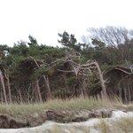 Im Darßer Wald, Weststrand mit Windflüchter