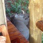 Warthog having lie-in