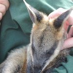 Baby Wallaby held by animal warden