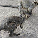 Friendly Wallabies
