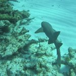 Nurse shark out on the reef in front of Yemaya.