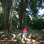 Banyon trees where scenes from Jurassic park and Pirates of the Caribbean 4 were filmed