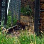 One of Melati's 3 cubs explores..