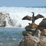 Cape Cormorant at the bay across from Beachcombers