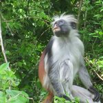 Colobus Monkey in the nearby jungle