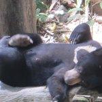 Sun Bear at Sepilok enclosure