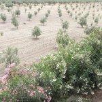 champ d'oliviers vu de la terrasse