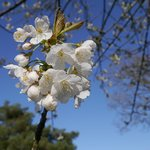 Blossom tree in grounds