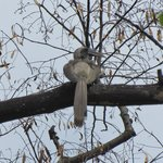 Indian Grey Hornbill in the tree outside my room.
