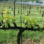 Quintessa vineyard