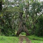 Mt Meru Famous Fig Tree