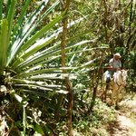 Giant Tequila Cactus