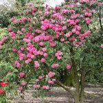 Rhododendron Blooms in Spring of 2014