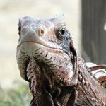 One of the resident iguanas