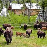 Bison Quest Camp