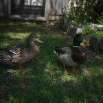 Hungry ducks in Vieux Moulin De Crillon