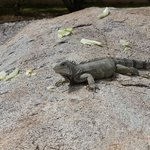 Iguana in between the Surf Club and Ocean Club