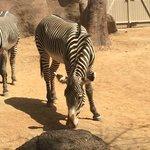 I see Zebras.