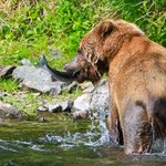 The young Brown bear finally get's his fish!