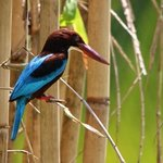 white throated kingfisher im the gadrens at The Palms Hotel