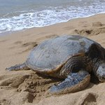 One of the sea turtles that came up to the beach in front of the condo.