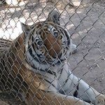Unlike most zoo's the big cats are up close