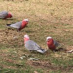Galahs outside our room